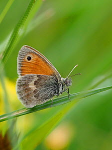 Small heath butterfly (Coenonympha pamphilus) resting in low vegetation in grass, Oxfordshire, England, UK, June - Focus Stacked  -  Andy Sands