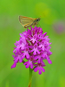Small skipper butterfly (Thymelicus sylvestris) perched on top of Pyramidal orchid (Anacamptis pyrimidalis) Hertfordshire, England, UK, June - Andy Sands