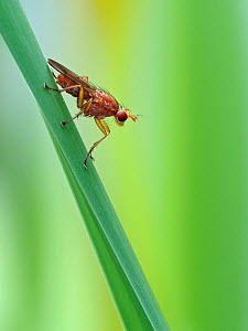 Snail Killing Fly (Sciomyzidae sp.) perched on reed stem above pond, Hertfordshire, England, UK, August  -  Andy Sands