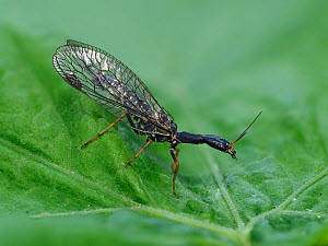 Snakefly (Raphidia notata) on leaf in garden, Hertfordshire, England, UK, June - Focus Stacked  -  Andy Sands