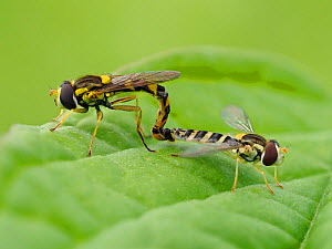 Hoverfly (Sphaerophoria scripta) mating pair, Hertfordshire, England, UK, July - Focus Stacked - Andy Sands