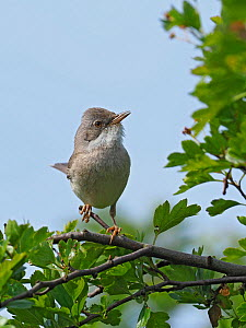 Whitethroat (Sylvia communis) male searching for flies around Hawthorn bush, Hertfordshire, England, UK, May  -  Andy Sands