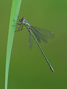Willow emerald damselfly (Chalcolestes viridis) perched on Reed stem, Hertfordshire, England, UK, August  -  Andy Sands