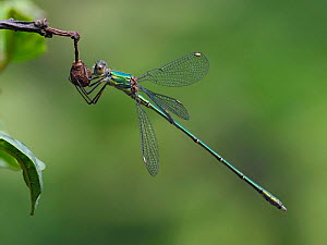 Willow emerald damselfly (Chalcolestes viridis) perched on Alder Buckthorn, Hertfordshire, England, UK, August - Focus Stacked  -  Andy Sands