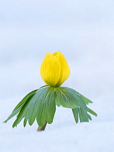 Winter aconite (Eranthis hyemalis) flowering in snow, Buckinghamshire, England, UK, February  -  Andy Sands