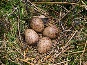 Woodcock (Scolopax rusticola) nest with four eggs amongst heather on working grouse moor, Upper Teesdale, Co Durham, England, UK, April - Andy Sands