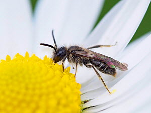 Mini-mining bee (Andrena minutula) very small Microandrena species feeding on Daisy flower (Bellis perennis), Essex, England, UK, March  -  Andy Sands