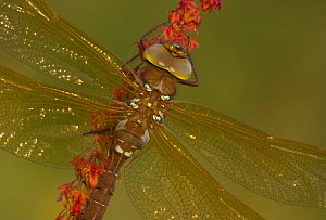 Brown Hawker (Aeshna grandis) basking, Leicestershire, UK, July.  -  Danny Green