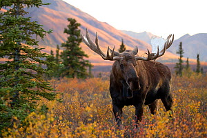 Moose bull (Alces alces) walking in forest clearing, Denali National Park, Alaska, USA, September  -  Danny Green