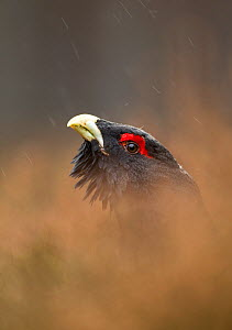 Capercaillie (Tetrao urogallus) male displaying, Finland, March.  -  Danny Green