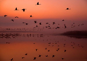 Common cranes (Grus grus) leaving the roost at dawn, Hula Valley, Northern Israel, January - Danny Green