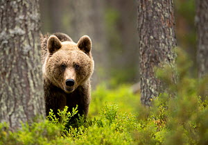 Brown Bear (Ursus arctos) in the forest, Finland, June - Danny Green