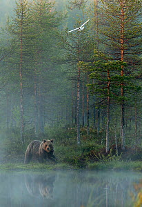European brown bear (Ursus arctos) reflected in forest pond in evening mist with gull in flight, Finland, June  -  Danny Green