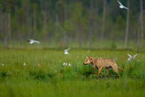 European Wolf (Canis lupus), alpha female hunting. Finland, July.  -  Danny Green