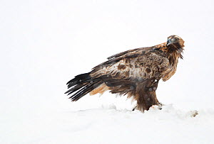 Golden Eagle (Aquila chrysaetos) in snow. Finland. March .  -  Danny Green