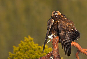 Golden Eagle (Aquila chrysaetos) on a branch with its prey. Finland, March.  -  Danny Green