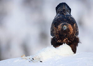 Golden Eagle (Aquila chrysaetos) in snow eating its prey. Norway, February.  -  Danny Green