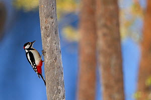 Great Spotted Woodpecker (Dendrocopos major) on a tree trunk. Finland, March.  -  Danny Green