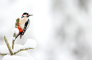 Great Spotted Woodpecker in snow (Dendrocopos major), Scotland, February.  -  Danny Green