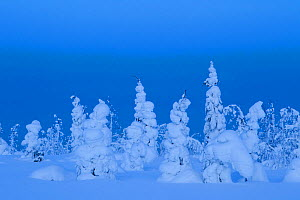 Coniferous trees under a thick layer of frozen snow, Northern Finland, February  -  Danny Green