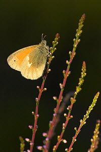 Large heath butterfly (Coenonympha tullia) resting on Heather. Glen Affric, Scotland, July. - Danny Green