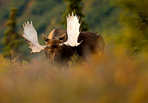 Moose Bull (Alces alces) in forest clearing, Denali National Park, USA, September  -  Danny Green