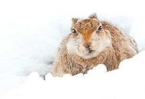 Mountain hare  (Lepus timidus) resting Cairngorms, Scotland, March  -  Danny Green