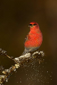 Pine grosbeak (Pinicola enucleator) perched on snowy conifer branch, Northern Finland, March.  -  Danny Green