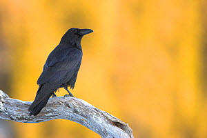 Raven (Corvus corax) perched on a branch. Flatanger, Norway, March.  -  Danny Green