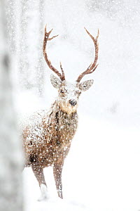 Red Deer (Cervus elaphus) Stag in the snow. Scotland, March  -  Danny Green