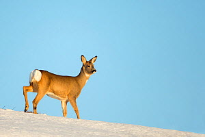 Roe Deer (Capreolus capreolus) in snow. Flatanger, Norway, January.  -  Danny Green