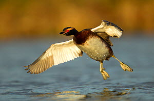 Slavonian Grebe (Podiceps auritus) in flight. Iceland, June.  -  Danny Green