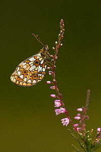 Small Pearl Bordered Fritillary (Boloria selene) resting on heather. Glen Affric, Scotland, UK, July.  -  Danny Green
