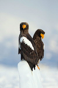 Two Steller's sea eagles (Haliaeetus pelagicus), on snowy perch, Japan, February  -  Danny Green