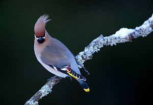 Waxwing (Bombycilla garrulus), perched in tree,  Finland, March  -  Danny Green
