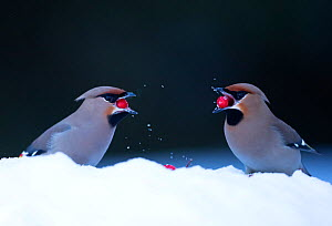 Waxwings (Bombycilla garrulus) feeding on berries in snow.  Finland, March  -  Danny Green