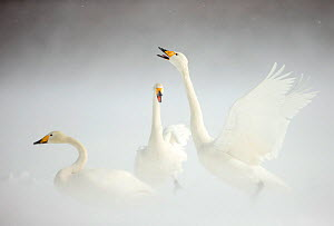 Whooper Swans (Cygnus cygnus) in snow. Japan, February. - Danny Green
