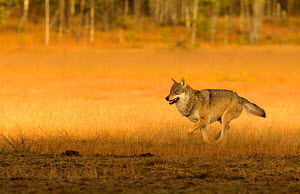 Wolf (Canis lupus), Alpha male running. Kuhmo, Finland, October.  -  Danny Green