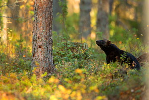 Wolverine (Gulo gulo) in forest habitat. Finland, September. - Danny Green