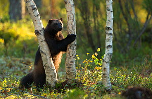 Wolverine (Gulo gulo) standing on back legs next to tree. Finland, September. - Danny Green