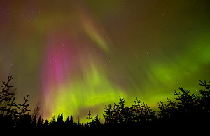 Aurora Borealis above silhouetted trees, northern Finland, March  -  Danny Green