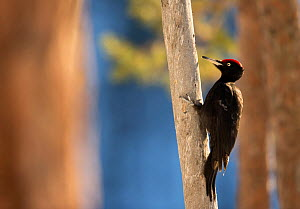 Black Woodpecker (Dryocopus martius) on a tree trunk.  Finland. March.  -  Danny Green