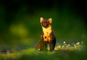 RF - Pine marten (Martes martes) portrait. Scotland, UK. July (This image may be licensed either as rights managed or royalty free.)  -  Danny Green