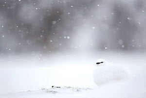 RF - Ptarmigan (Lagopus muta) resting in fallling snow. Finland, February. (This image may be licensed either as rights managed or royalty free.)  -  Danny Green