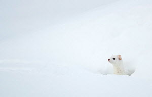RF - Stoat (Mustela erminea) in snow. Yellowstone National Park, Wyoming, USA, February. (This image may be licensed either as rights managed or royalty free.)  -  Danny Green