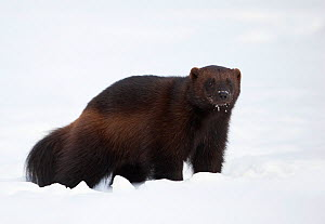 RF - Wolverine (Gulo gulo) in the snow. Finland, March. (This image may be licensed either as rights managed or royalty free.) - Danny Green