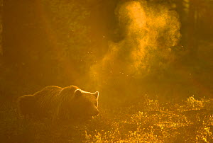 RF - Brown bear (Ursus arctos) silhouetted at dawn. Finland. June. (This image may be licensed either as rights managed or royalty free.)  -  Danny Green