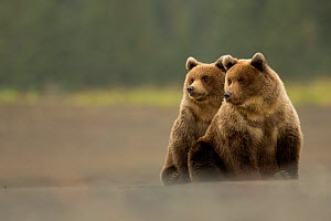 RF - Two  Grizzly bears (Ursus arctos) Lake Clark National Park, Alaska, September. (This image may be licensed either as rights managed or royalty free.)  -  Danny Green