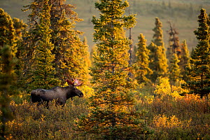 RF - Moose (Alces alces) bull, walking in forest clearing, Denali National Park, USA, September (This image may be licensed either as rights managed or royalty free.)  -  Danny Green
