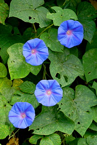 Mexican morning glory (Ipomoea tricolor) Madeira.  -  Edwin Giesbers
